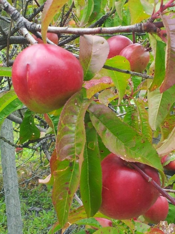 caths-apples The Week That Was